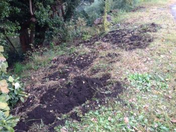 湘南平(高麗山公園)イノシシの掘り返し