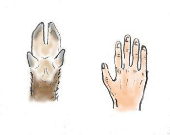 イノシシと人間の比較