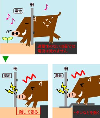 イノシシ_通電させる