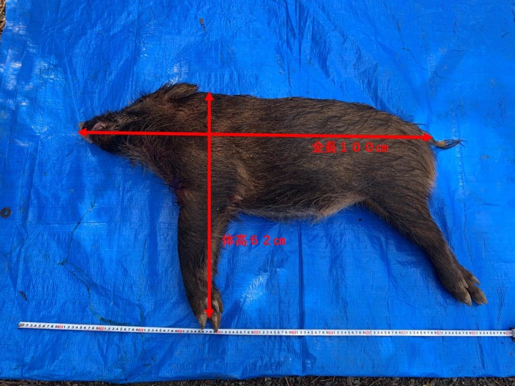 捕獲したイノシシの体サイズを計測