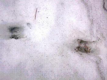雪の上に付いたイノシシの足