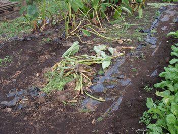 田畑に残されている作物