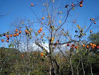 集落の柿の木