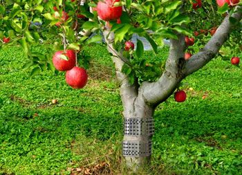 有刺鉄板果樹に巻きつける