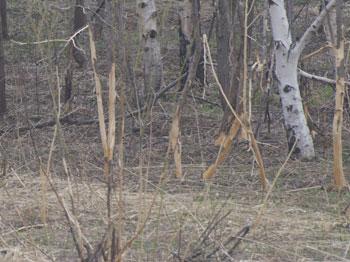 ネズミ食害_樹皮剥ぎ