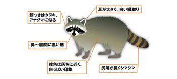 アライグマの特徴