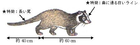ハクビシンの体長