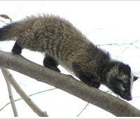 樹上を歩くハクビシン