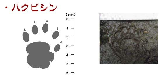 ハクビシンの足跡と大きさ